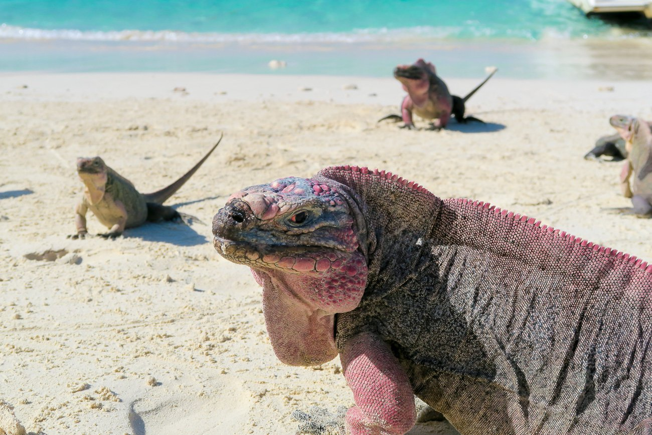bahamian-rock-iguanas-exuma