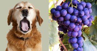 เหตุผลสุดน่ากลัวที่ว่าทำไมสุนัขห้ามกิน..องุ่น!!