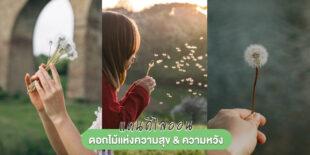 'แดนดิไลออน' ดอกไม้แห่งความสุข ที่มีดีมากกว่าแค่ดอกหญ้าริมทาง